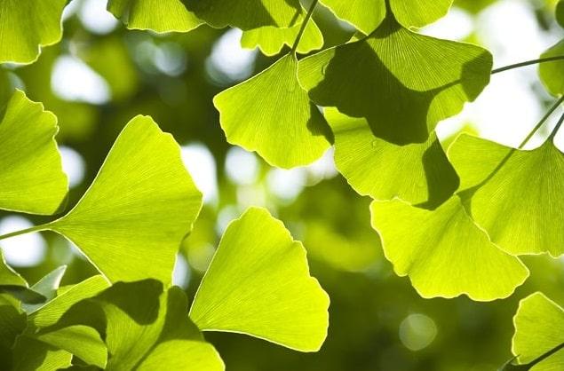 Гинкго билоба растение
